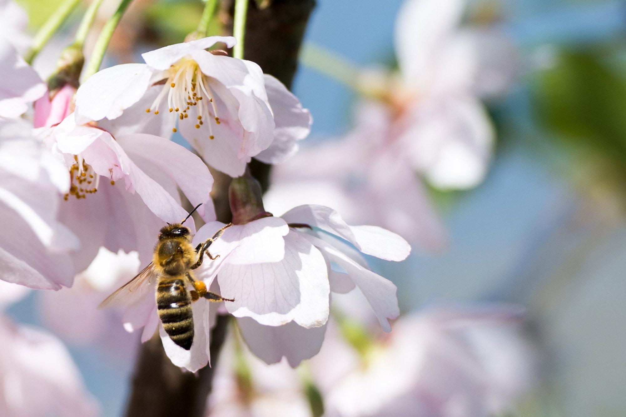 Bienen-Pflege ganz ohne Chemie?
